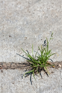 GrassThroughConcrete_shutterstock_75473080