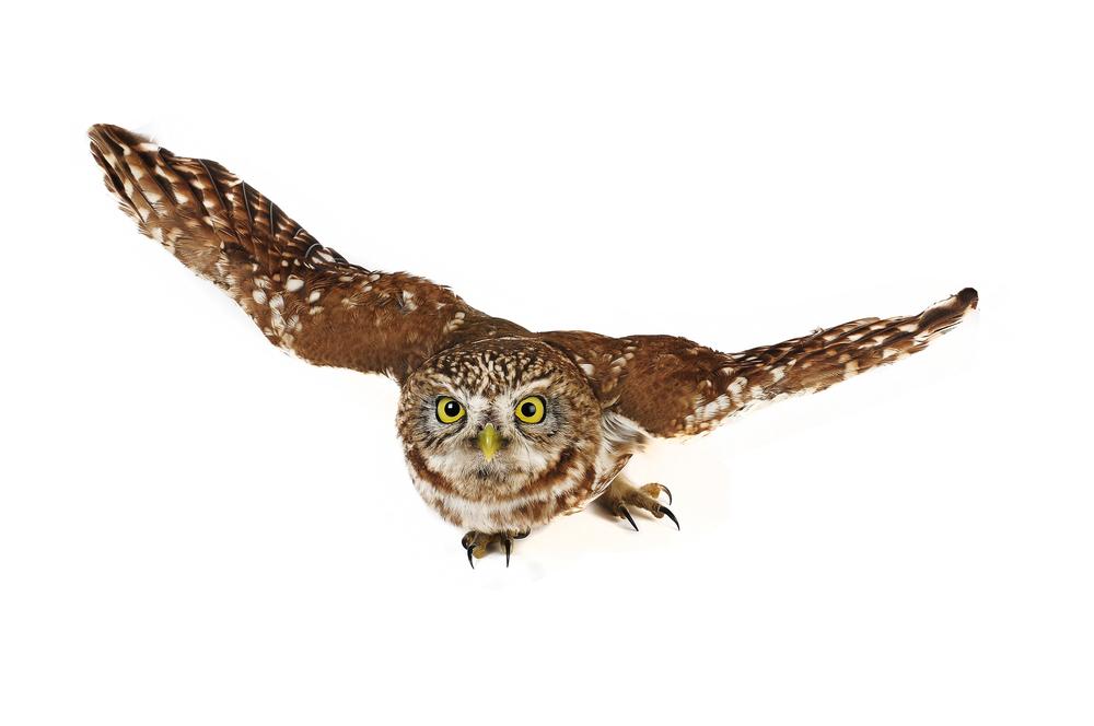 Летящая сова анимация